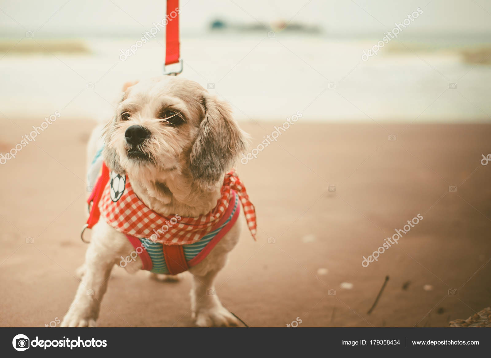 White Short Hair Shih Tzu Dog Cutely Clothes Red Leash Stock Photo