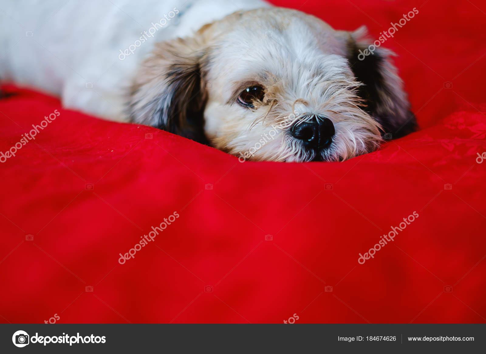 Cutely White Short Hair Shih Tzu Dog On Red Fabric Background