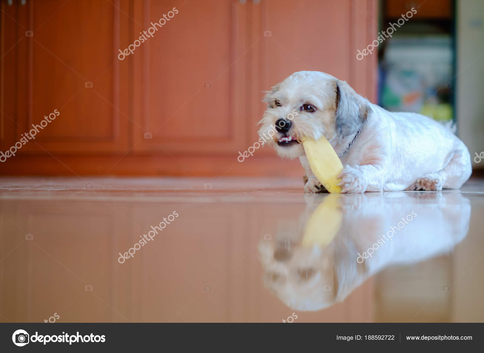 Cutely White Short Hair Shih Tzu Dog Is Happy To Gnaw At A Mango