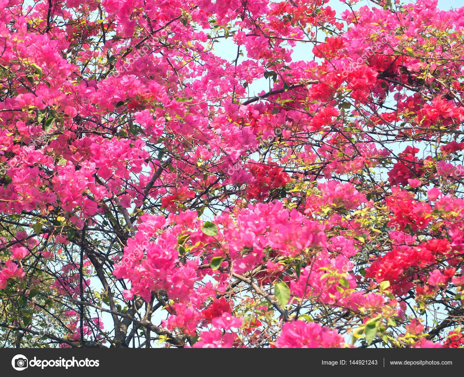 fleurs de bougainvillier rose — photographie paisan191 © #144921243