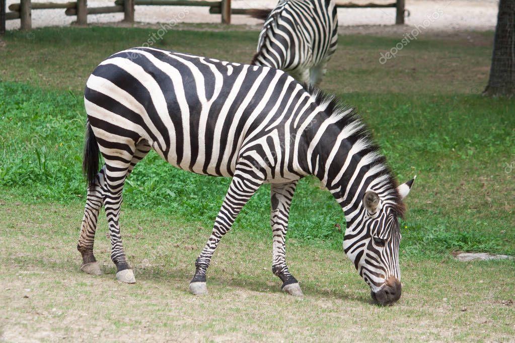 A Zebra eating