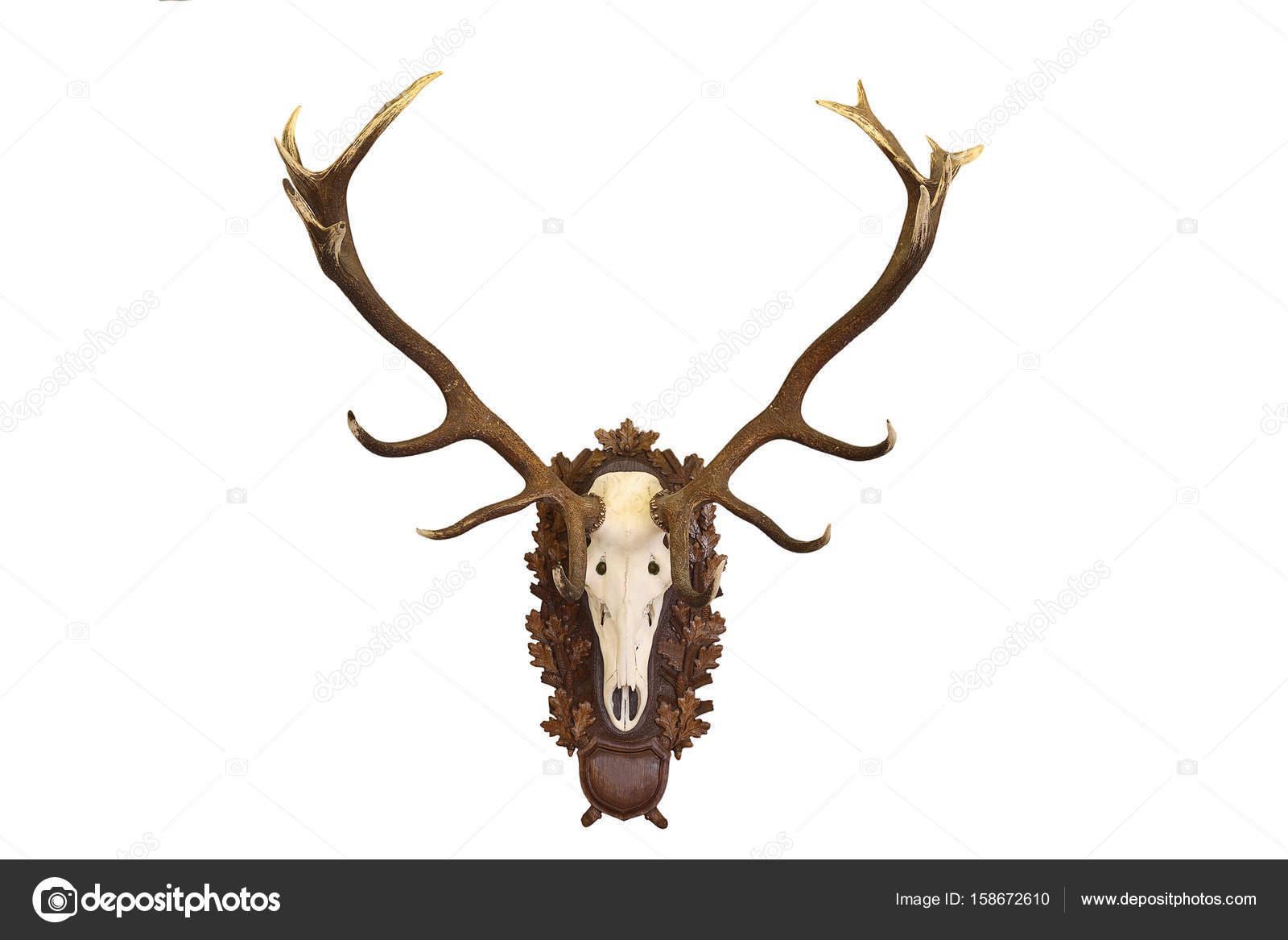 hermoso trofeo de caza Cervus elaphus en blanco — Foto de stock ...