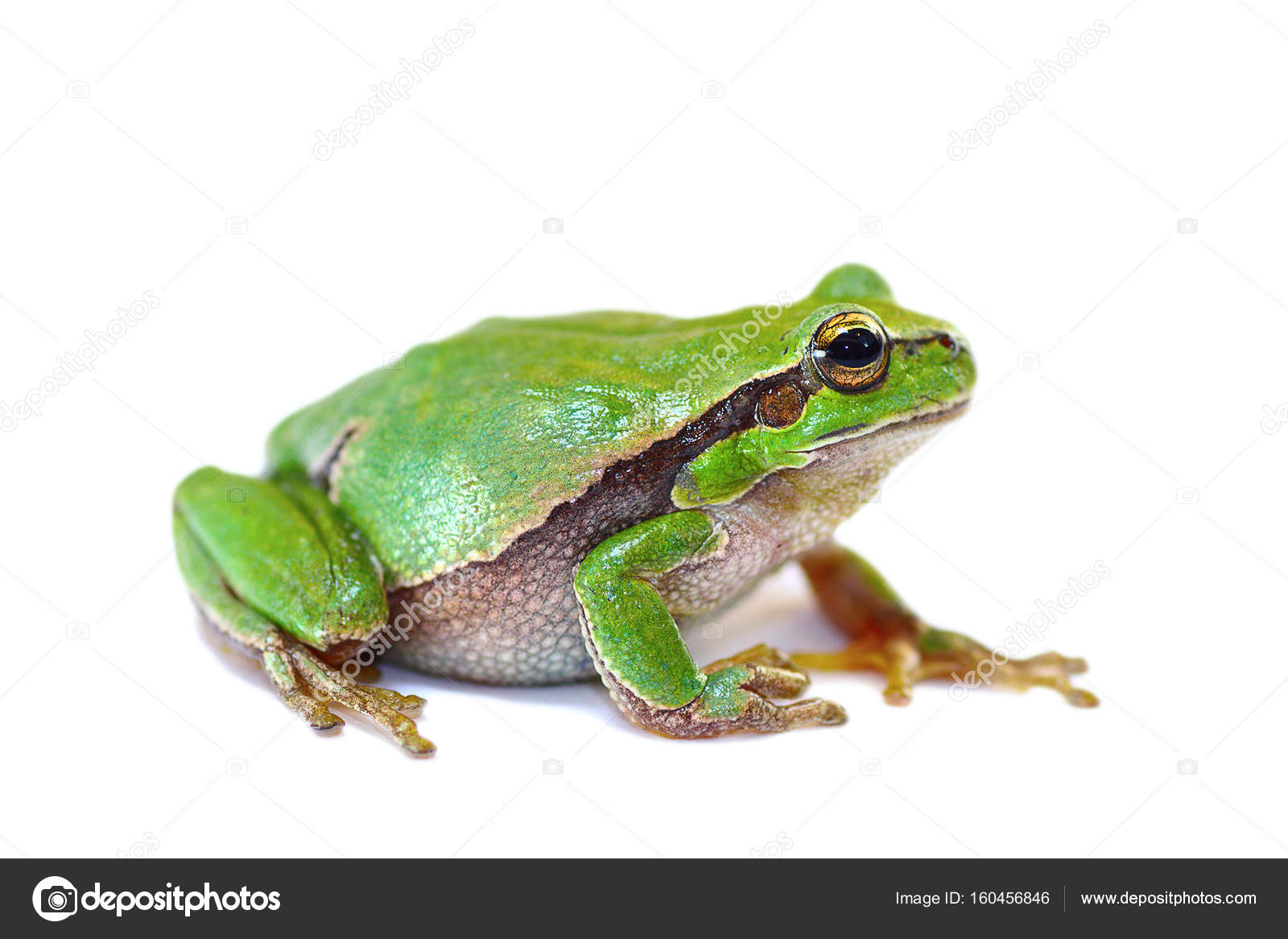 colorful green tree frog on white background — Stock Photo ...
