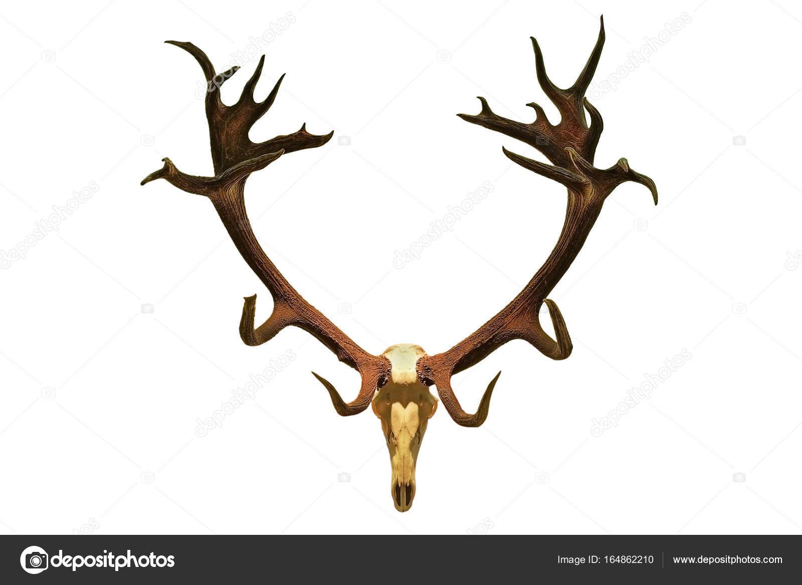 huge red deer hunting trophy — Stock Photo © taviphoto #164862210