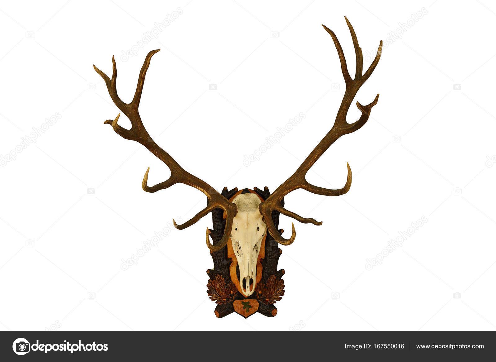 Trofeo de ciervo grande hermoso sobre blanco — Foto de stock ...