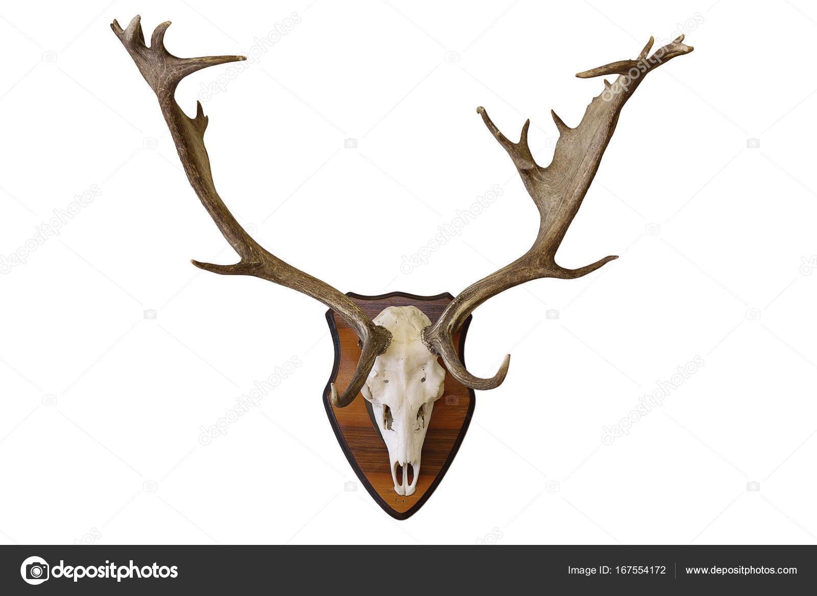 Trofeo caza ciervo Gamo blanco — Foto de stock © taviphoto #167554172