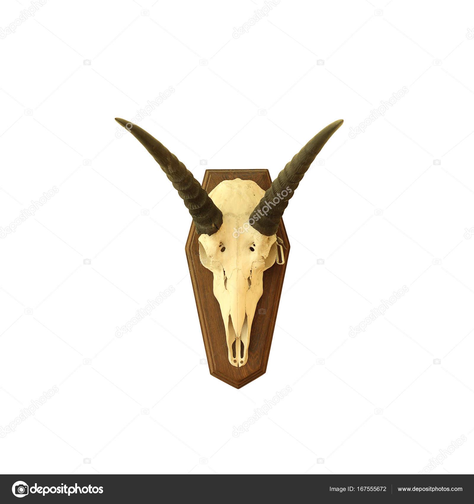 cráneo de antílope saiga — Foto de stock © taviphoto #167555672