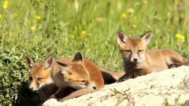 playful fox cubs  near the den