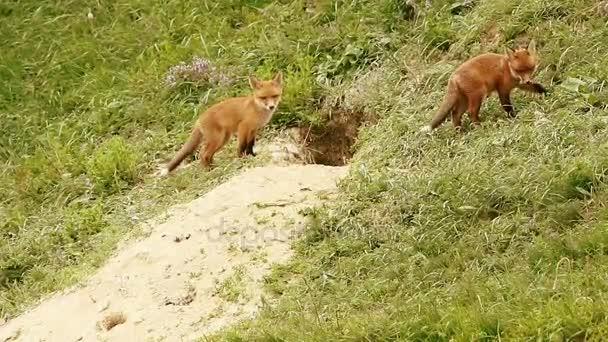 european red fox cubs near the burrow ( Vulpes )