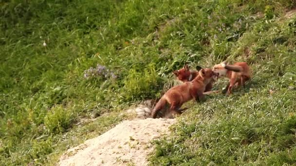 adorable fox cubs playing in front of the den