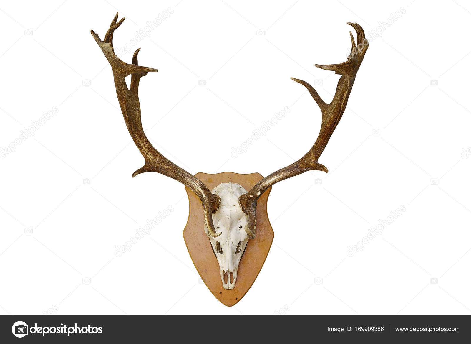 fallow deer stag hunting trophy over white — Stock Photo © taviphoto ...