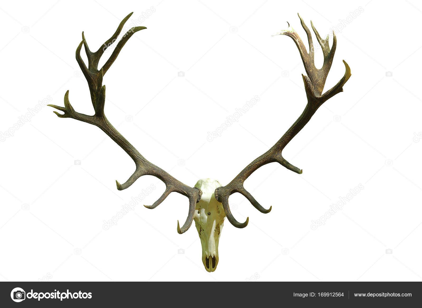cráneo de ciervo enorme con las cornamentas hermosas — Foto de stock ...