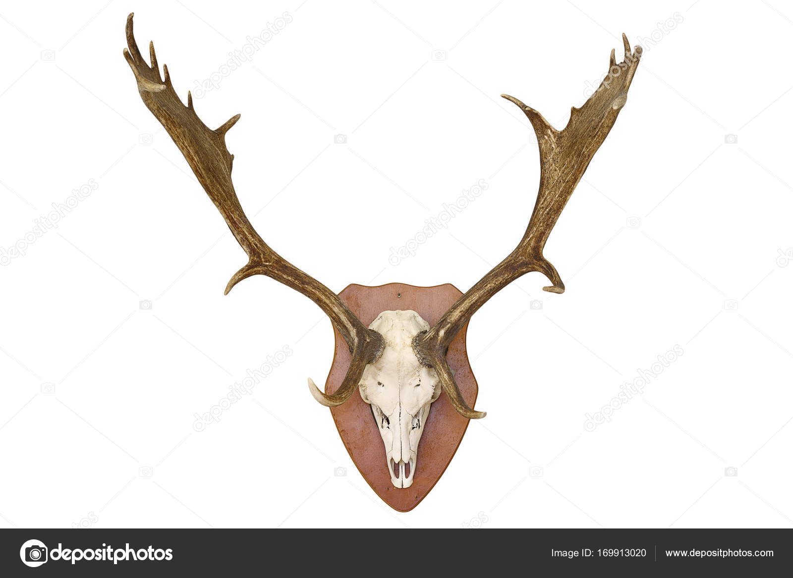 Fallow Deer Anatomy Gallery - human body anatomy