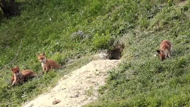 european wild fox cubs