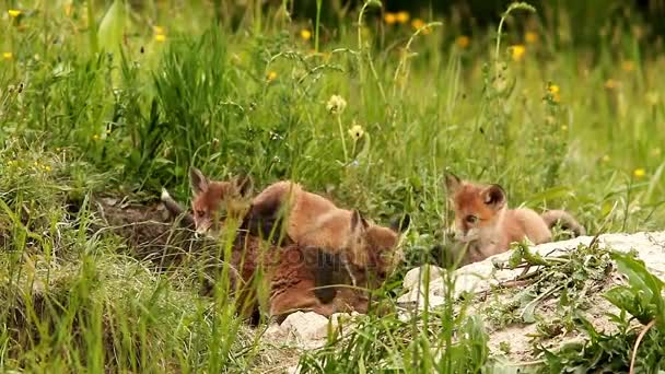 happy red fox cubs near the burrow (