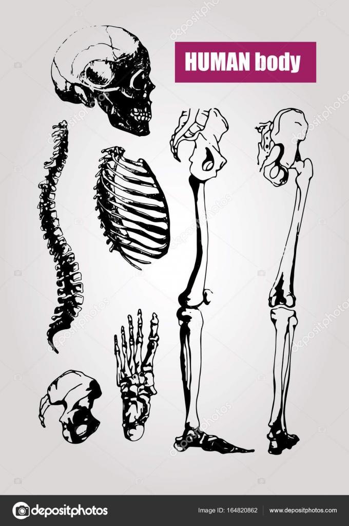 Anatomía del cuerpo humano. Ilustración médica. Huesos humanos ...