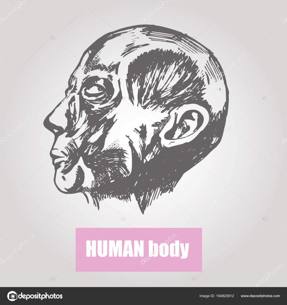 Anatomie des menschlichen Körpers. Medizinische Illustration. Ein ...