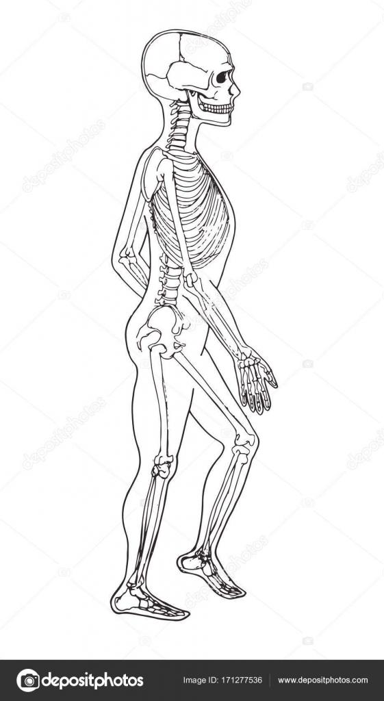 Niedlich Medizinische Zeichnung Des Menschlichen Körpers Fotos ...