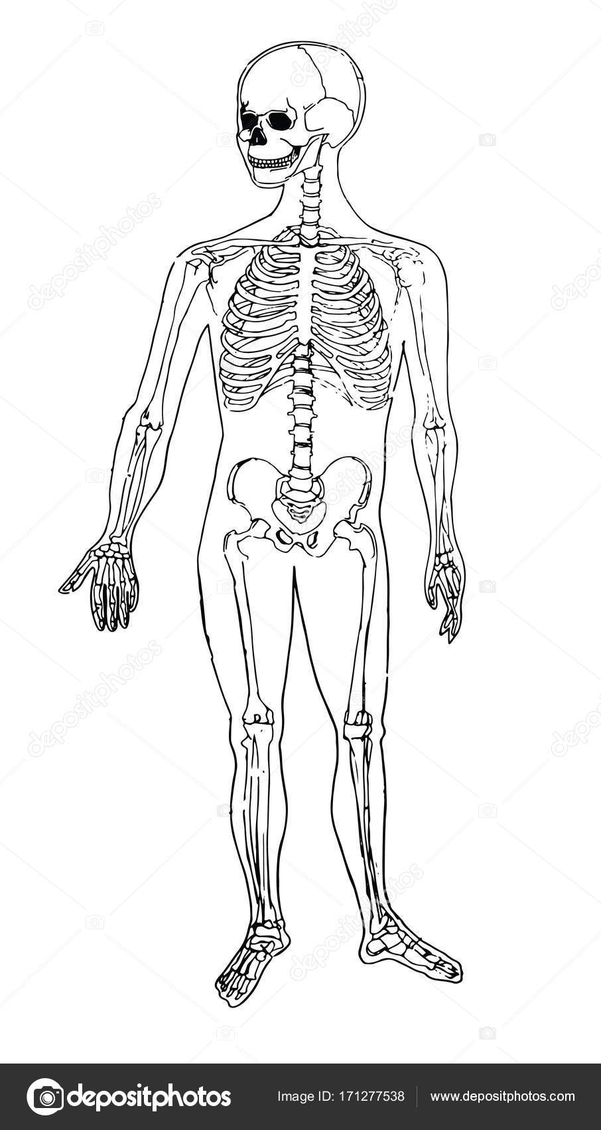 Anatomie van het menselijk lichaam. Medische illustratie. Menselijke ...