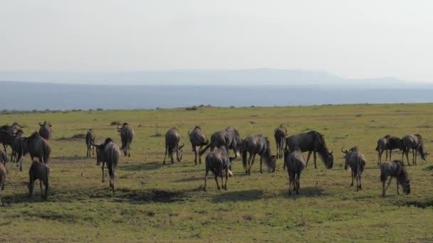 Stádo antilop pakoně vede savany v africké rezervaci.