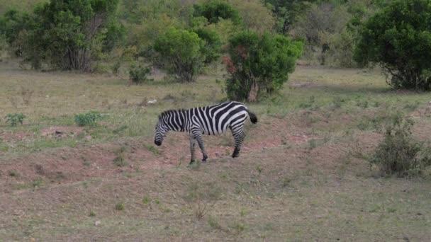 Osamělý zebra detail listy v houští africké savany