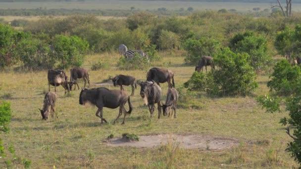 V křoví africké rezervy se páslo stádo z pakoně.