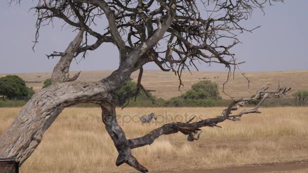 Druh osamělý Zebra přes mrtvý strom v africké savaně