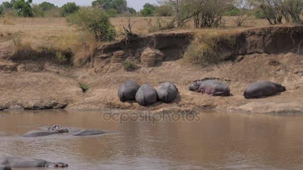 Un branco di ippopotami divertenti che riposa sulla riva e che si trova nellacqua