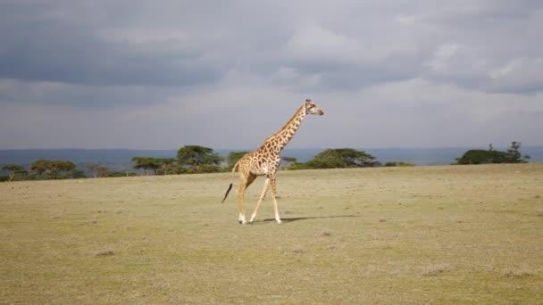 Žirafa jde přes pole v Savannah Africké zachovat