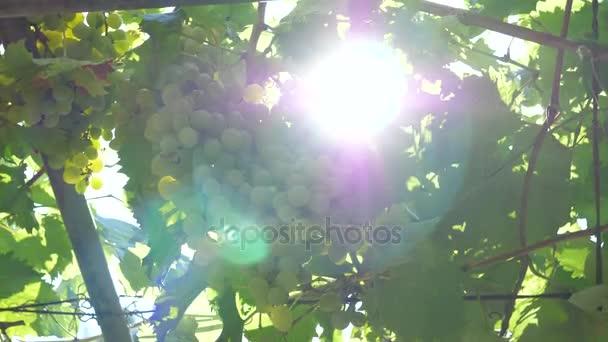 Banda zralých hroznů vinné révy a slunečního záření