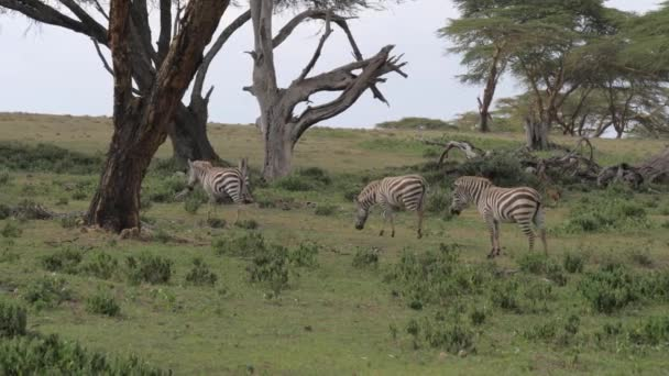 Stádo zeber pastviny v poli a chůze africké savany Acacias