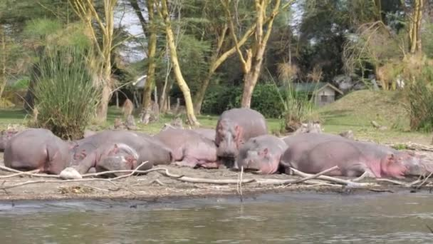 Large African Hippos Resting On The Shores Of Lake Naivasha, Yawn, Sleep