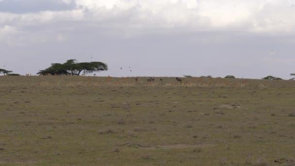 Stádo afrických Thompson Gazelle běží rychle na savany v rezervaci