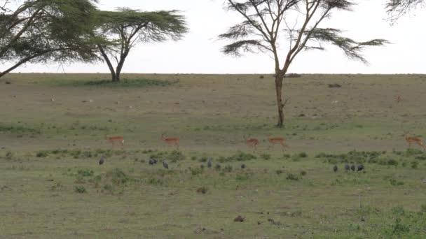 Gazella-állomány Impala és legeltetett madarak zöld mező a Acacias, 4k