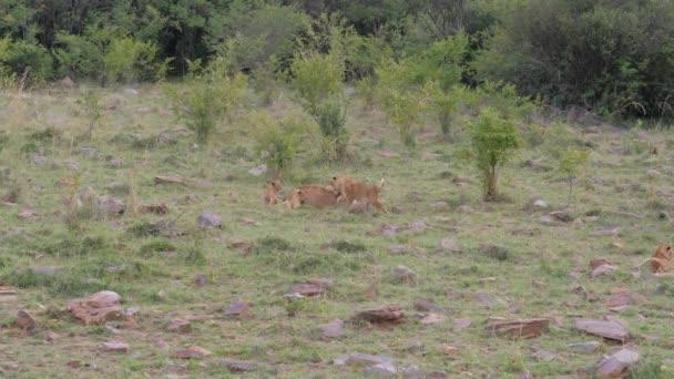 Oroszlán hörgés, és pihen a fűben, ezen a környéken: Ő játszik kis oroszlánok kölykök