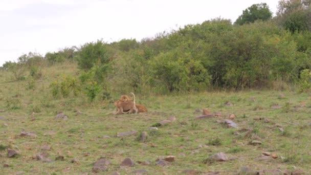 Lion Resting, Run Up To Him Little Cubs And Begin To Play, He Growls