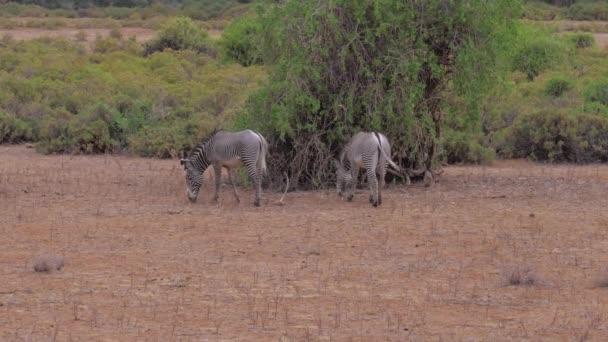 Zebra pastvě suché trávy v divočině africké savany