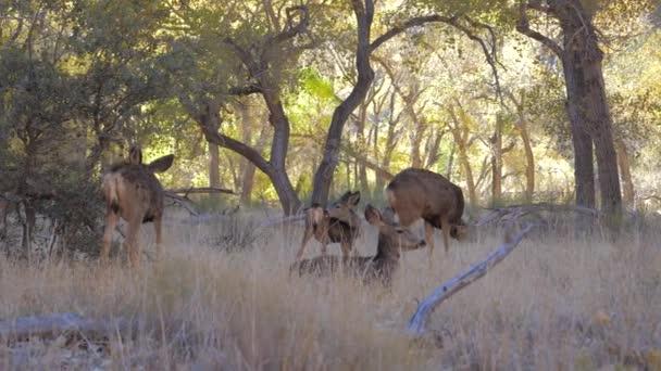 Stádo jelenů s kolouchy pasou a odpočinek ve stínu stromů háje v parku Zion
