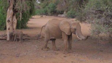 Samburu, Kenya- July 22, 2017: Elephant With Baby Eating, Rides Safari Car
