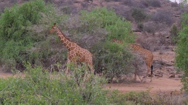 Žirafy jde v africké savaně, Samburu, jíst listy stromů
