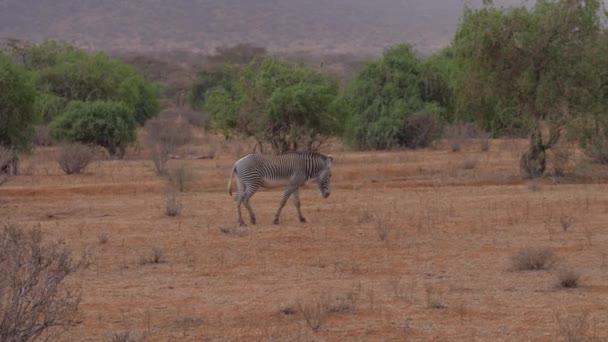 Osamělý Grevys Zebra Walk hnědé suché země africké savany Samburu blízko keře