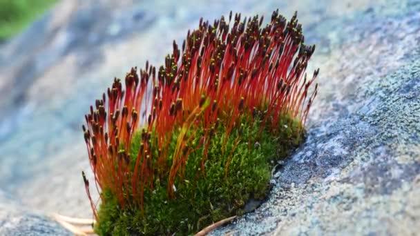 Mech na kameni květy s červenými květy