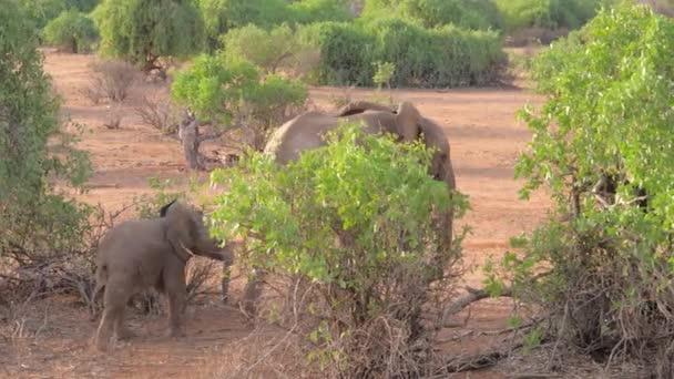 Elefante africano con il bambino che cammina tra i cespugli di Samburu riserva Kenya