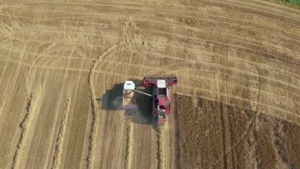 Farm Combine Pours Frissen betakarított búza gabona a traktor pótkocsi