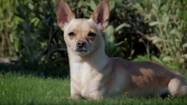 Chihuahua a zöld gyepen fekszik az udvaron.