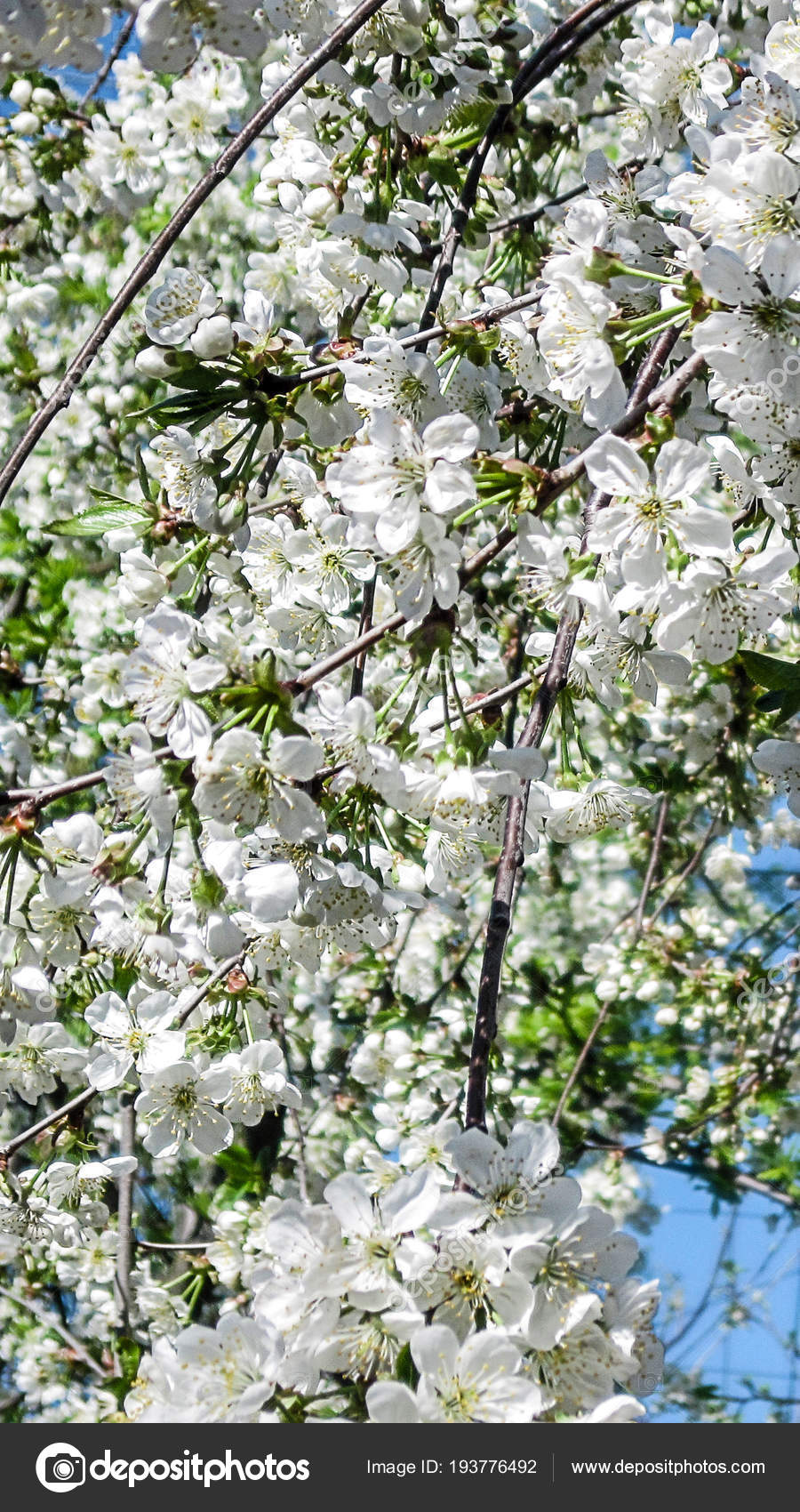 Blossom Bloom Cherry Sakura White Flowers Blooming Tree Branches Sky