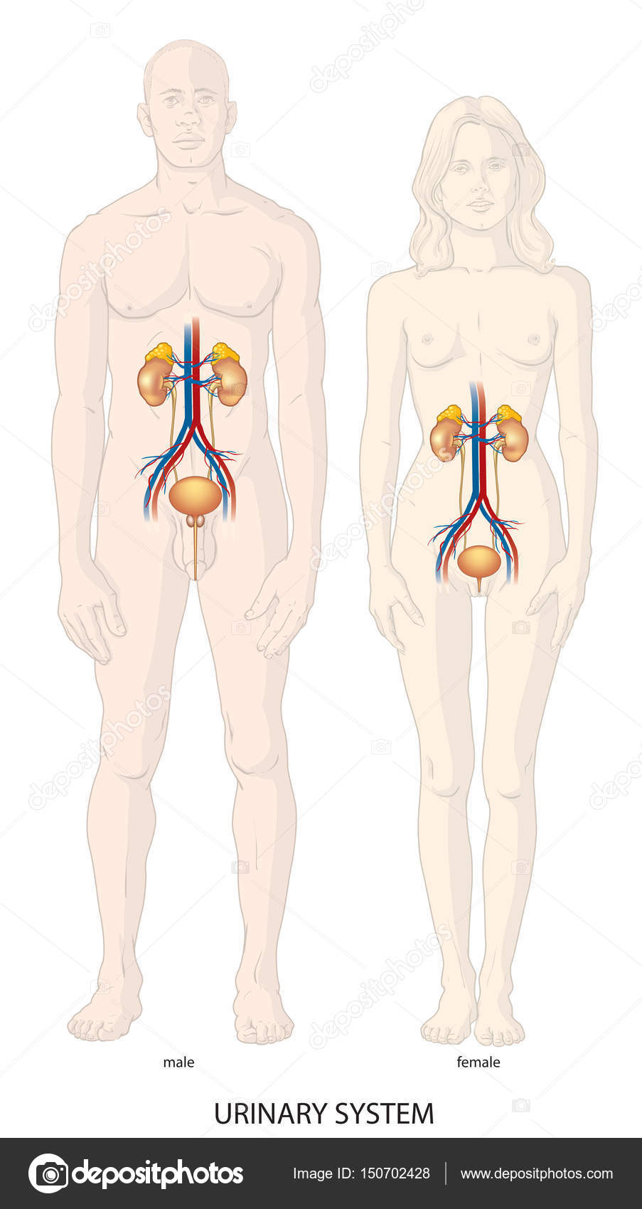 Human urinary system — Stock Vector © Lukaves #150702428