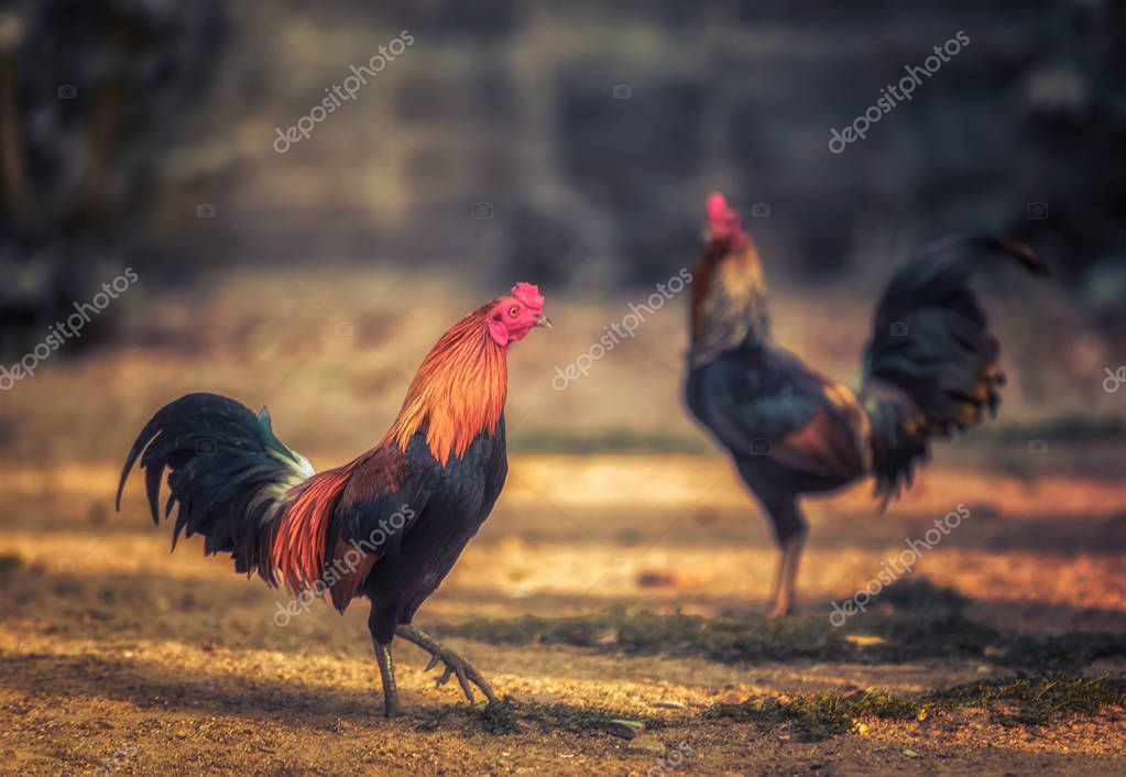 The beauty of Thai Gamecocks