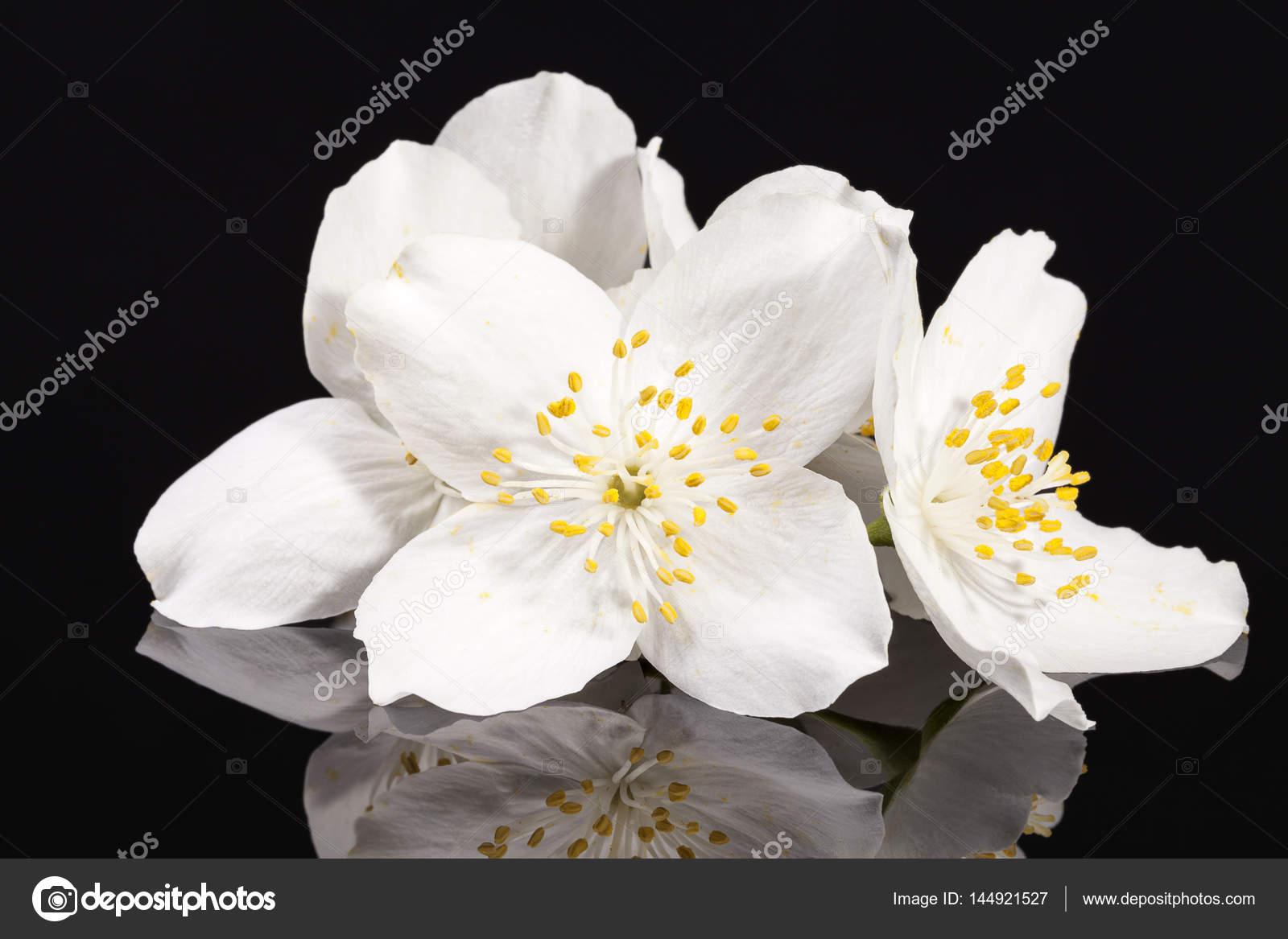 Jasmine white flowers isolated on black background stock photo jasmine white flowers isolated on black background stock photo izmirmasajfo Choice Image