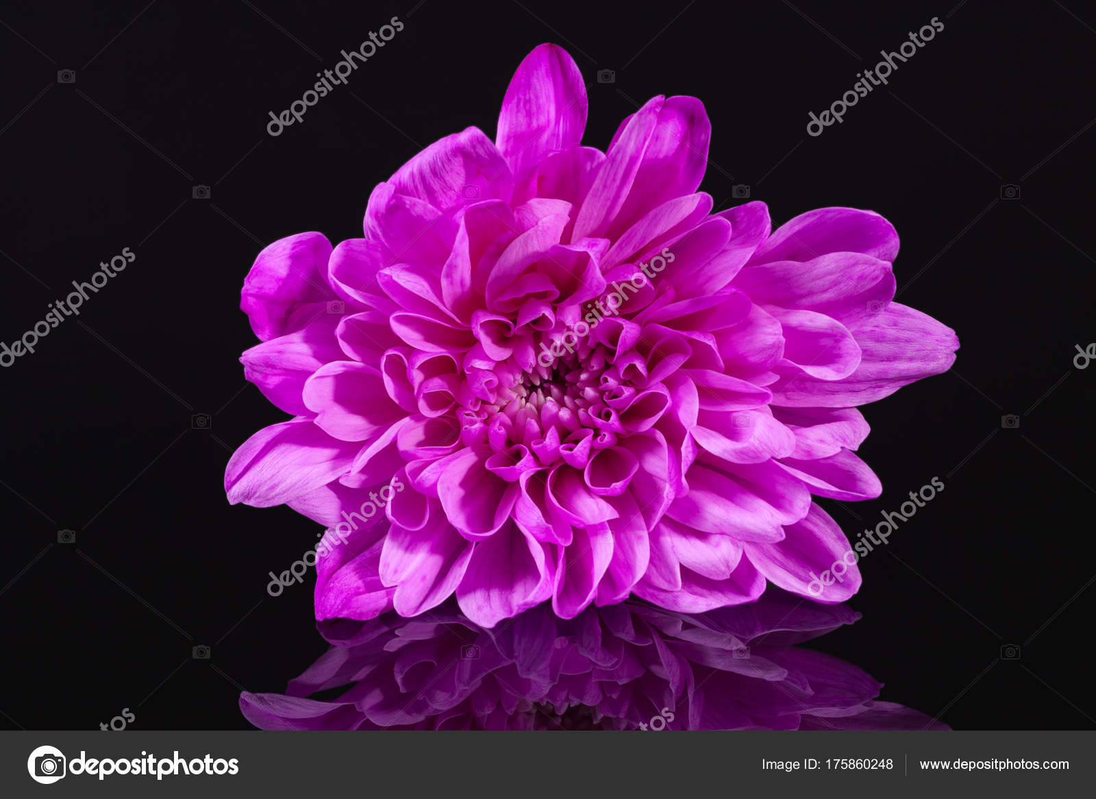 Single pink flower chrysanthemum on black background stock photo single pink flower chrysanthemum on black background stock photo mightylinksfo